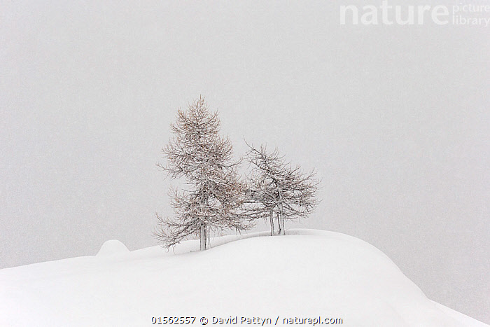 RF - Alpine landscape with snow covered trees. Gran Paradiso national park, Italy January (This image may be licensed either as rights managed or royalty free.)  ,  Nobody,Temperature,Cold,Europe,Southern Europe,Italy,Copy Space,Plant,Tree,Bare Tree,Hill,Mountain,Alpine,Snow,Outdoors,Winter,Day,Nature,Reserve,Protected area,National Park,Negative space,Gran Paradiso National Park,RF,Royalty free,RFCAT1,RF17Q1,  ,  David  Pattyn