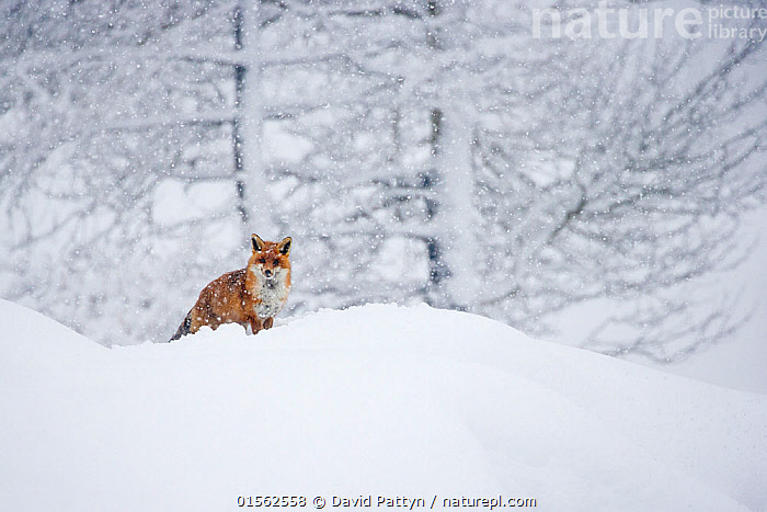RF - European red fox (Vulpes vulpes crucigera) walking in deep snow during heavy snowfallGran Paradiso National Park, Italy. January. Highly commended in the Portfolio category of the Terre Sauvage Nature Images Awards 2017. (This image may be licensed either as rights managed or royalty free.)  ,  Animal,Vertebrate,Mammal,Carnivore,Canid,True fox,Red fox,European fox,Animalia,Animal,Wildlife,Vertebrate,Mammalia,Mammal,Carnivora,Carnivore,Canidae,Canid,Vulpes,True fox,Vulpini,Caninae,Vulpes vulpes,Red fox,Walking,Alertness,Alone,Solitude,Solitary,Nobody,Temperature,Cold,Europe,Southern Europe,Italy,Copy Space,Plant,Branch,Branches,Tree,Snow,Weather,Snowing,Snowfall,Outdoors,Winter,Day,Beautiful,Nature,Wild,Reserve,Protected area,National Park,European fox,Negative space,Gran Paradiso National Park,RF,Royalty free,RFCAT1,RF17Q1,  ,  David  Pattyn