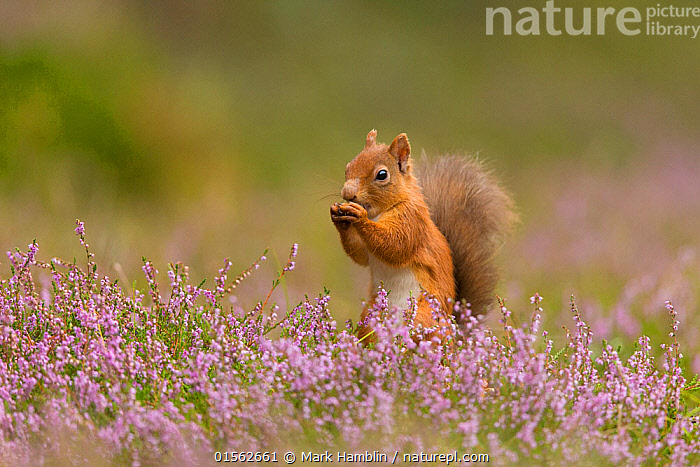 RF - Red Squirrel (Sciurus vulgaris) in summer coat amongst heather, Cairngorms National Park, Scotland. (This image may be licensed either as rights managed or royalty free.)  ,  Animal,Vertebrate,Mammal,Rodent,Squirrel,Eurasian Red Squirrel,Animalia,Animal,Wildlife,Vertebrate,Mammalia,Mammal,Rodentia,Rodent,Sciuridae,Sciurus,Squirrel,Sciurus vulgaris,Eurasian Red Squirrel,Red Squirrel,Sciurus fuscorubens,Sciurus nadymensis,Sciurus subalpinus,Sciurus talahutky,Cute,Adorable,Alone,Solitude,Solitary,Nobody,Europe,Western Europe,UK,Great Britain,Scotland,Side View,Plant,Ericale,Ericales,Heather Family,Ericaceae,Heather,Outdoors,Day,Nature,Wild,Reserve,Colour-phases,Summer coat,Protected area,National Park,Negative space,Cairngorms National Park,Nibbling,RF,Royalty free,RFCAT1,RF17Q1,  ,  Mark Hamblin