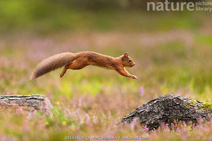 RF - Red Squirrel (Sciurus vulgaris)  in summer coat leaping between fallen logs Scotland, UK. September. (This image may be licensed either as rights managed or royalty free.)  ,  Animal,Vertebrate,Mammal,Rodent,Squirrel,Eurasian Red Squirrel,Animalia,Animal,Wildlife,Vertebrate,Mammalia,Mammal,Rodentia,Rodent,Sciuridae,Sciurus,Squirrel,Sciurus vulgaris,Eurasian Red Squirrel,Red Squirrel,Sciurus fuscorubens,Sciurus nadymensis,Sciurus subalpinus,Sciurus talahutky,Jumping,Agility,Agile,Focus,On The Move,Mid Air,Nobody,Side View,Plant,Log,Logs,Tree,Fallen Tree,Outdoors,Day,Nature,Wild,Colour-phases,Summer coat,Negative space,Moving,Focused,RF,Royalty free,RFCAT1,RF17Q1,  ,  Mark Hamblin