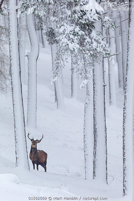 RF - Red Deer stag (Cervus elaphus) in snow-covered pine forest. Scotland, UK. December. (This image may be licensed either as rights managed or royalty free.)  ,  Animal,Vertebrate,Mammal,Deer,Red Deer,Animalia,Animal,Wildlife,Vertebrate,Mammalia,Mammal,Artiodactyla,Even-toed ungulates,Cervidae,Deer,True deer,ruminantia,Ruminant,Cervus,Cervus elaphus,Red Deer,Wapiti,Standing,Alone,Solitude,Solitary,Colour,Brown,Below,Beneath,Under,Underneath,Nobody,Height,Tall,High,Size,Small,Temperature,Cold,Plant,Tree Trunk,Tree,Evergreen Tree,Coniferous Tree,Conifers,Pine Tree,Pine,Pine Trees,Pines,True Pine,True Pines,Hill,Snow,Outdoors,Winter,Day,Nature,Wild,Forest,Elk,Conifer,RF,Royalty free,RFCAT1,RF17Q1,  ,  Mark Hamblin