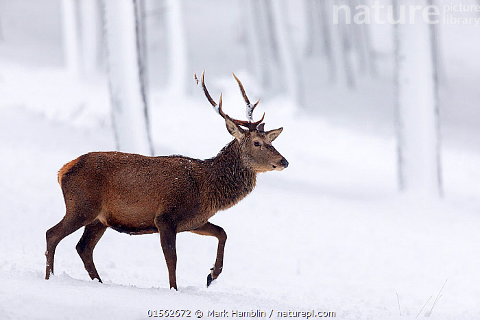 RF - Red Deer stag (Cervus elaphus) walking through snow-covered pine forest Scotland, UK. December. (This image may be licensed either as rights managed or royalty free.)  ,  Animal,Vertebrate,Mammal,Deer,Red Deer,Animalia,Animal,Wildlife,Vertebrate,Mammalia,Mammal,Artiodactyla,Even-toed ungulates,Cervidae,Deer,True deer,ruminantia,Ruminant,Cervus,Cervus elaphus,Red Deer,Wapiti,Walking,Confidence,Colour,Brown,Nobody,Temperature,Cold,Full Length,Profile,Side View,Hair,Fur,Snow,Outdoors,Winter,Day,Nature,Wild,Woodland,Forest,Elk,Animal Hair,RF,Royalty free,RFCAT1,RF17Q1,  ,  Mark Hamblin