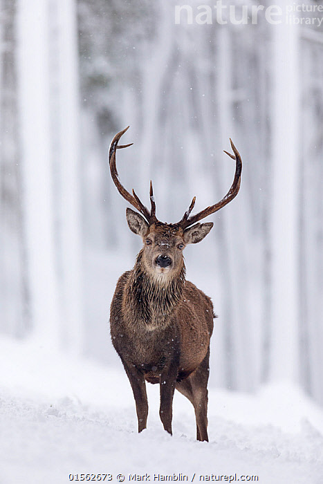 RF - Red Deer stag (Cervus elaphus) in snow-covered pine forest. Scotland, UK. December. (This image may be licensed either as rights managed or royalty free.)  ,  Animal,Vertebrate,Mammal,Deer,Red Deer,Animalia,Animal,Wildlife,Vertebrate,Mammalia,Mammal,Artiodactyla,Even-toed ungulates,Cervidae,Deer,True deer,ruminantia,Ruminant,Cervus,Cervus elaphus,Red Deer,Wapiti,Standing,Nobody,Full Length,Front View,Plant,Tree,Evergreen Tree,Coniferous Tree,Conifers,Pine Tree,Pine,Pine Trees,Pines,True Pine,True Pines,Antler,Antlers,Snow,Outdoors,Winter,Day,Nature,Wild,Forest,Elk,Horn,Direct Gaze,Conifer,RF,Royalty free,RFCAT1,RF17Q1,  ,  Mark Hamblin