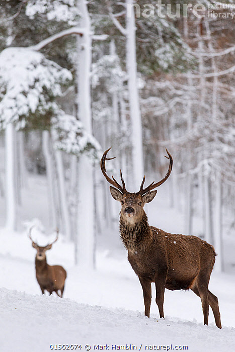 RF - Red Deer stags (Cervus elaphus) in snow-covered pine forest. Scotland, UK. December. (This image may be licensed either as rights managed or royalty free.)  ,  Animal,Vertebrate,Mammal,Deer,Red Deer,Animalia,Animal,Wildlife,Vertebrate,Mammalia,Mammal,Artiodactyla,Even-toed ungulates,Cervidae,Deer,True deer,ruminantia,Ruminant,Cervus,Cervus elaphus,Red Deer,Wapiti,Alertness,Colour,Brown,Two,Nobody,Camera Focus,Selective Focus,Focus On Foreground,Male Animal,Stag,Stags,Plant,Tree,Evergreen Tree,Coniferous Tree,Conifers,Pine Tree,Pine,Pine Trees,Pines,True Pine,True Pines,Hair,Fur,Antler,Antlers,Hill,Snow,Outdoors,Winter,Day,Nature,Wild,Forest,Elk,Two animals,Direct Gaze,Shallow depth of field,Low depth of field,Animal Hair,Conifer,RF,Royalty free,RFCAT1,RF17Q1,  ,  Mark Hamblin
