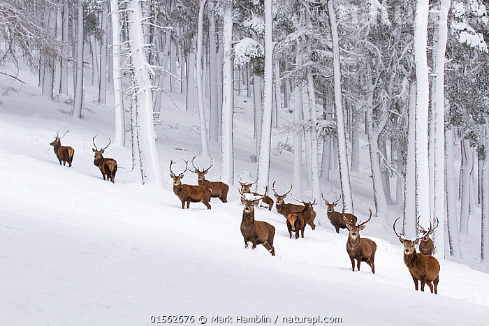 RF - Red deer (Cervus elaphus) herd in forest in winter. Scotland, UK. December (This image may be licensed either as rights managed or royalty free.)  ,  Animal,Vertebrate,Mammal,Deer,Red Deer,Animalia,Animal,Wildlife,Vertebrate,Mammalia,Mammal,Artiodactyla,Even-toed ungulates,Cervidae,Deer,True deer,ruminantia,Ruminant,Cervus,Cervus elaphus,Red Deer,Wapiti,Alertness,Magic,Magical,Mystery,Togetherness,Group Of Animals,Herd,Group,Large Group,Nobody,Sloping,Copy Space,Antler,Antlers,Hill,Snow,Outdoors,Winter,Day,Nature,Wild,Woodland,Forest,Elk,Negative space,Aware,RF,Royalty free,RFCAT1,RF17Q1,  ,  Mark Hamblin