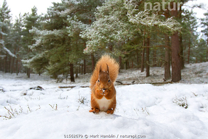 RF - Red Squirrel (Sciurus vulgaris) in woodland habitat in snow. Scotland, UK, December. (This image may be licensed either as rights managed or royalty free.)  ,  Animal,Vertebrate,Mammal,Rodent,Squirrel,Eurasian Red Squirrel,Animalia,Animal,Wildlife,Vertebrate,Mammalia,Mammal,Rodentia,Rodent,Sciuridae,Sciurus,Squirrel,Sciurus vulgaris,Eurasian Red Squirrel,Red Squirrel,Sciurus fuscorubens,Sciurus nadymensis,Sciurus subalpinus,Sciurus talahutky,Alertness,Alone,Solitude,Solitary,Suspicion,Colour,Brown,Nobody,Fluffy,Front View,Tail,Snow,Outdoors,Winter,Day,Nature,Wild,Woodland,Habitat,Forest,Nibbling,RF,Royalty free,RFCAT1,RF17Q1,  ,  Mark Hamblin