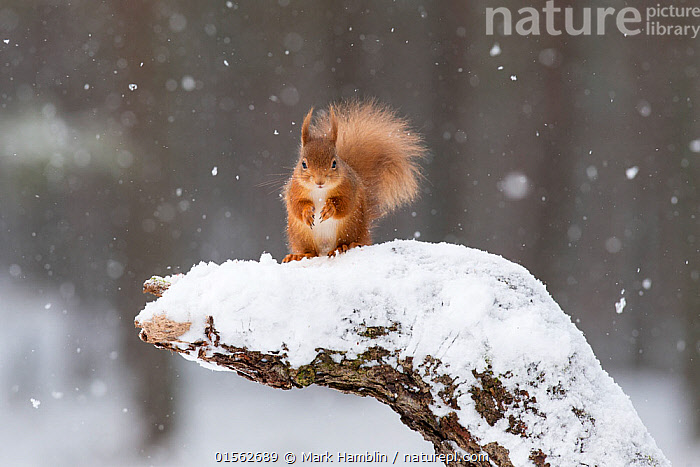 RF - Red Squirrel (Sciurus vulgaris) on snow-covered stump. Scotland, UK, February. (This image may be licensed either as rights managed or royalty free.)  ,  Animal,Vertebrate,Mammal,Rodent,Squirrel,Eurasian Red Squirrel,Animalia,Animal,Wildlife,Vertebrate,Mammalia,Mammal,Rodentia,Rodent,Sciuridae,Sciurus,Squirrel,Sciurus vulgaris,Eurasian Red Squirrel,Red Squirrel,Sciurus fuscorubens,Sciurus nadymensis,Sciurus subalpinus,Sciurus talahutky,Cute,Adorable,Nobody,Fluffy,Front View,Plant,Tree Stump,Tail,Snow,Weather,Snowing,Snowfall,Outdoors,Winter,Day,Nature,Wild,Woodland,Forest,Direct Gaze,RF,Royalty free,RFCAT1,RF17Q1,  ,  Mark Hamblin