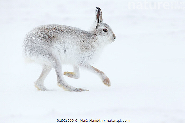 RF - Mountain Hare (Lepus timidus) adult running across snow, Scotland. February. (This image may be licensed either as rights managed or royalty free.)  ,  Animal,Vertebrate,Mammal,Lagomorph,Leporid,Hare,Mountain Hare,Animalia,Animal,Wildlife,Vertebrate,Mammalia,Mammal,Lagomorpha,Lagomorph,Leporidae,Leporid,Lepus,Hare,Lepus timidus,Mountain Hare,Running,Alertness,Mischief,Nobody,Europe,Western Europe,UK,Great Britain,Scotland,Full Length,Profile,Close Up,Side View,Animal Feet,Feet,Foot,Paw,Paws,Hair,Fur,Snow,Outdoors,Winter,Day,Nature,Wild,Colour-phases,Winter coat,Animal Hair,RF,Royalty free,RFCAT1,RF17Q1,  ,  Mark Hamblin