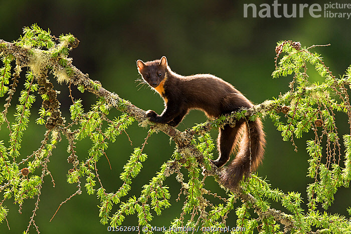 RF - Pine Marten (Martes martes) backlit on larch branch, Scotland, UK, May. (This image may be licensed either as rights managed or royalty free.)  ,  Animal,Vertebrate,Mammal,Carnivore,Mustelid,Marten,European Pine Martin,Animalia,Animal,Wildlife,Vertebrate,Mammalia,Mammal,Carnivora,Carnivore,Mustelidae,Mustelid,Martes,Marten,Martes martes,European Pine Martin,Pine Marten,Balance,Cute,Adorable,Nobody,Europe,Western Europe,UK,Great Britain,Scotland,Close Up,Side View,Back Lit,Plant,Branch,Branches,Tree,Deciduous,Larch Tree,Larch,Larch Trees,Larches,Outdoors,Day,Nature,Wild,Direct Gaze,RF,Royalty free,RFCAT1,RF17Q1,  ,  Mark Hamblin