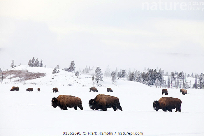 RF -Three Bison (Bison bison) walking through snow with herd feeding in background. Yellowstone National Park, Wyoming, USA. January. (This image may be licensed either as rights managed or royalty free.)  ,  Animal,Vertebrate,Mammal,Bovid,Bison,American Bison,American,Animalia,Animal,Wildlife,Vertebrate,Mammalia,Mammal,Artiodactyla,Even-toed ungulates,Bovidae,Bovid,ruminantia,Ruminant,Bison,Bison bison,American Bison,American buffalo,Walking,Resilience,Resilient,Journey,Persistence,Separation,Separate,Separated,Colour,Brown,Group Of Animals,Herd,Few,Three,Group,Nobody,North America,USA,Western USA,Copy Space,Side View,Snow,Landscape,Outdoors,Winter,Day,Nature,Wild,Feeding,Grazing,Reserve,Protected area,National Park,Negative space,Yellowstone National Park,Three Animals,American,United States of America,RF,Royalty free,RFCAT1,RF17Q1,  ,  Mark Hamblin