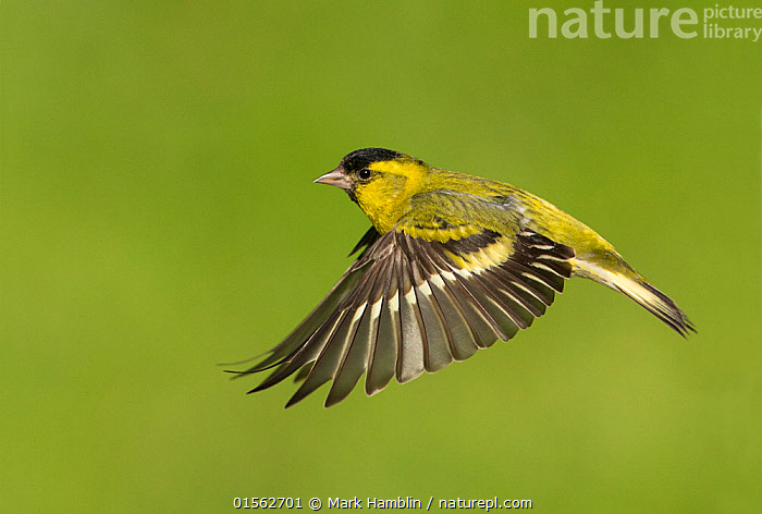 RF - Siskin (Carduelis spinus) male in flight Scotland, UK. May. (This image may be licensed either as rights managed or royalty free.)  ,  Animal,Vertebrate,Bird,Birds,Songbird,True finch,Cardueline finch,Eurasian siskin,Animalia,Animal,Wildlife,Vertebrate,Aves,Bird,Birds,Passeriformes,Songbird,Passerine,Fringillidae,True finch,Finch,Carduelis,Cardueline finch,Carduelinae,Carduelis spinus,Eurasian siskin,Common siskin,Siskin,Spruce siskin,Flying,Balance,Determination,Focus,Direction,Effort,Exertion,Trying,Colour,Black,Mid Air,Nobody,Coloured Background,Green Background,Copy Space,Profile,Side View,Male Animal,Wing,Outdoors,Day,Nature,Wild,Negative space,Purpose,Focused,RF,Royalty free,RFCAT1,RF17Q1,  ,  Mark Hamblin