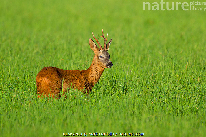 RF - Roe deer buck (Capreolus capreolus) in field, Scotland, UK, August. (This image may be licensed either as rights managed or royalty free.)  ,  Animal,Vertebrate,Mammal,Deer,Roe deer,Animalia,Animal,Wildlife,Vertebrate,Mammalia,Mammal,Artiodactyla,Even-toed ungulates,Cervidae,Deer,True deer,ruminantia,Ruminant,Capreolus,Roe deer,Capreolus capreolus,Alertness,Caution,Cautious,Apprehensive,Suspicion,Colour,Brown,Nobody,Europe,Western Europe,UK,Great Britain,Scotland,Profile,Side View,Male Animal,Buck,Antler,Antlers,Cultivated Land,Outdoors,Day,Nature,Wild,Farmland,Negative space,RF,Royalty free,RFCAT1,RF17Q1,  ,  Mark Hamblin