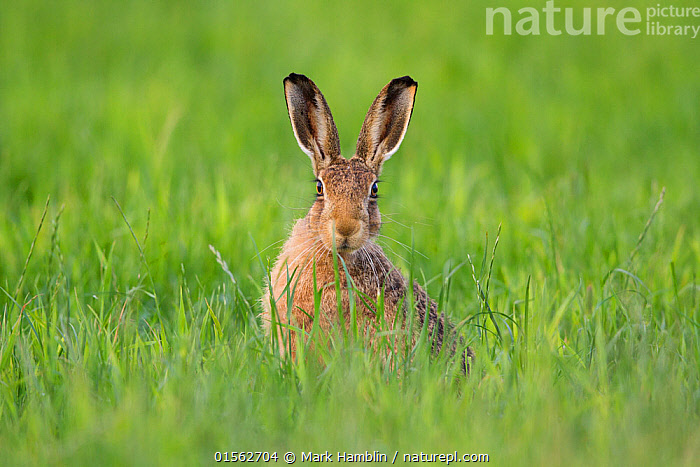 RF - Brown hare (Lepus europaeus) adult in arable field, Scotland (This image may be licensed either as rights managed or royalty free.)  ,  Animal,Vertebrate,Mammal,Lagomorph,Leporid,Hare,Arabian Hare,Brown Hare,Animalia,Animal,Wildlife,Vertebrate,Mammalia,Mammal,Lagomorpha,Lagomorph,Leporidae,Leporid,Lepus,Hare,Lepus capensis,Arabian Hare,Brown Hare,Cape Hare,Desert Hare,Lepus europaeus,European Brown Hare,European Hare,Eulagos europaeus,Alertness,Nobody,Europe,Western Europe,UK,Great Britain,Scotland,Front View,Portrait,Plant,Grass Family,Grass,Grasses,Ear,Animal Ears,Ears,Cultivated Land,Outdoors,Day,Agriculture,Nature,Wild,Adult,Farmland,Direct Gaze,Negative space,Ears Pricked,Animal portrait,Arable,RF,Royalty free,RFCAT1,RF17Q1,  ,  Mark Hamblin