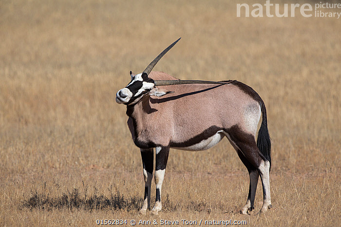 RF - Gemsbok (Oryx gazella) using horn to scratch back, Kgalagadi Transfrontier Park, South Africa, June. (This image may be licensed either as rights managed or royalty free.)  ,  Animal,Wildlife,Vertebrate,Mammal,Bovid,Oryx,Gemsbok,Animalia,Animal,Wildlife,Vertebrate,Mammalia,Mammal,Artiodactyla,Even-toed ungulates,Bovidae,Bovid,ruminantia,Ruminant,Oryx,Oryx gazella,Gemsbok,Africa,Southern Africa,South Africa,Reserve,Protected area,National Park,International Parks,Kgalagadi Transfrontier Park,South African,Kgalagadi,Transfrontier Park,,RF,,RFCAT1,RF,Royalty free,RF17Q3,,RF3,,RF3,,RF,  ,  Ann  & Steve Toon