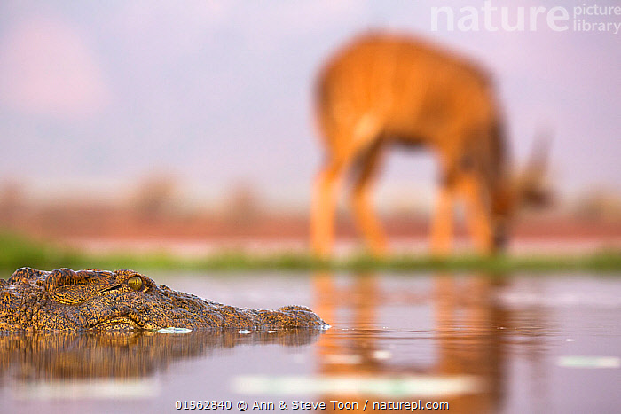 RF - Nile crocodile (Crocodylus niloticus) watching male nyala (Tragelaphus angasii) grazing near water edge,  Zimanga private game reserve, KwaZulu-Natal, South Africa, September 2016 (This image may be licensed either as rights managed or royalty free.)  ,  Animal,Wildlife,Vertebrate,Reptile,Crocodilian,Crocodile,Nile crocodile,Animalia,Animal,Wildlife,Vertebrate,Reptilia,Reptile,Crocodylia,Crocodilian,Crocodilia,Crocodylidae,Crocodile,Crocodylus,Crocodylus niloticus,Nile crocodile,Crocodilus vulgaris,Crocodilus multiscutatus,Danger,Africa,Southern Africa,South Africa,Predator,Reserve,Mixed species,Protected area,South African,Prey,KwaZulu-Natal Province,,RF,,RFCAT1,RF,Royalty free,RF17Q3,,RF3,,RF3,,RF,  ,  Ann  & Steve Toon