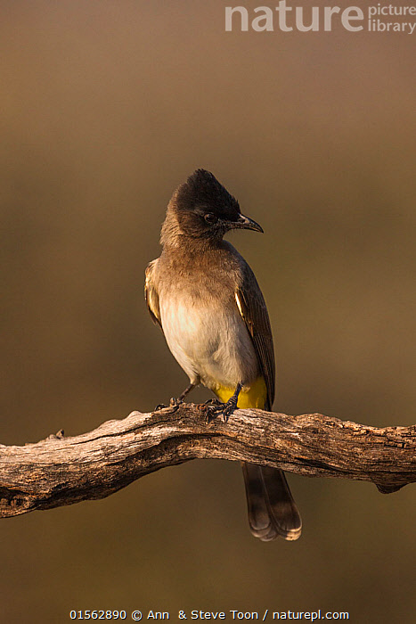Dark-capped bulbul (Pycnonotus tricolor). Zimanga private game reserve, KwaZulu-Natal, South Africa. June.  ,  Animal,Vertebrate,Bird,Birds,Songbird,Bulbul,Dark-capped bulbul,Animalia,Animal,Wildlife,Vertebrate,Aves,Bird,Birds,Passeriformes,Songbird,Passerine,Pycnonotidae,Bulbul,Pycnonotus,Africa,Southern Africa,South Africa,Coloured Background,Brown Background,Copy Space,Close Up,Front View,Branch,Branches,Reserve,Protected area,Negative space,South African,Game reserve,KwaZulu-Natal Province,Pycnonotus tricolor,Dark-capped bulbul,Zimanga Game Reserve,  ,  Ann  & Steve Toon