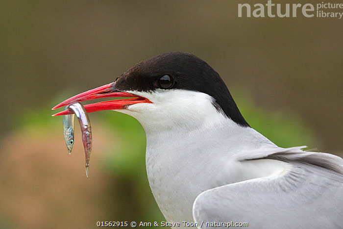 Arctic tern (Sterna paradisaea) with sandeel. Inner Farne, Northumberland, UK. July., Animal,Vertebrate,Ray-finned fish,Percomorphi,Sand lance,Sand eels,Sand eel,Bird,Birds,Tern,Arctic tern,Animalia,Animal,Wildlife,Vertebrate,Actinopterygii,Ray-finned fish,Osteichthyes,Bony fish,Fish,Perciformes,Percomorphi,Acanthopteri,Ammodytidae,Sand lance,Sandlance,Ammodytes,Sand eels,Ammodytes tobianus,Sand eel,Lesser sandeel,Small sand eel,Ammodytes lancea,Ammodytes tobiunus,Aves,Bird,Birds,Charadriiformes,Sternidae,Tern,Gull,Seabird,Sterninae,Sterna,Sterna paradisaea,Arctic tern,Alertness,Colour,Red,Two,Europe,Western Europe,UK,Great Britain,England,Northumberland,Profile,Close Up,Side View,Beak,Feeding,Two animals,Negative space,Prey,Inner Farne Islands,Farne Islands,Marine, Ann  & Steve Toon