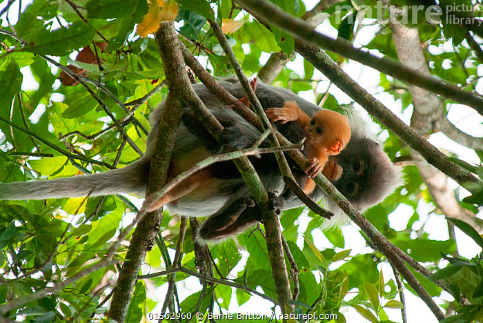 Phayre's leaf monkey (Trachypithecus phayrei) mother and infant. Phu Khieo Wildlife Sanctuary, Thailand.  ,  Animal,Wildlife,Vertebrate,Mammal,Monkey,Lutang,Animalia,Animal,Wildlife,Vertebrate,Mammalia,Mammal,Primate,Primates,Cercopithecidae,Monkey,Old World Monkeys,Trachypithecus,Lutang,Trachypithecus phayrei (Phayre's Langur,Phayre's Leaf-monkey,Phayre's Leaf Monkey,Asia,South East Asia,Thailand,Low Angle View,Young Animal,Juvenile,Babies,Female animal,Rainforest,Forest,Family,Mother baby,Mother,Parent baby,  ,  Barrie Britton
