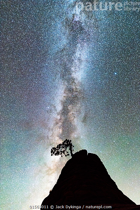Ponderosa pine (Pinus ponderosa) against a star filled sky with a brilliant Milky Way. Zion National Park, Utah, USA, September.  ,  Plant,Vascular plant,Conifer,Pine tree,Ponderosa pine tree,Plantae,Plant,Tracheophyta,Vascular plant,Pinopsida,Conifer,Gymnosperm,Spermatophyte,Pinophyta,Coniferophyta,Coniferae,Spermatophytina,Gymnospermae,Pinales,Pinaceae,Pinus,Pine tree,Pine,Pinus ponderosa,Ponderosa pine tree,Bull pine,Blackjack pine,Western yellow pine,Rock pine,Pinus washoensis,Pinus parryana,Pinus benthamiana,Astonishing,Ancient,Back Lit,Tree,Outer Space,The Universe,Galaxy,Galaxies,Night,Reserve,Silhouette,Protected area,National Park,Milky Way,Coniferous,Tree,Trees,,stars,night,astrophotography,stargazing,  ,  Jack Dykinga