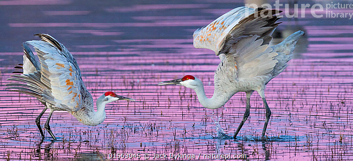 Sandhill cranes (Grus canadensis) mating dance at sunset, Bosque del Apache National Wildlife Refuge, New Mexico, USA, December., Animal,Vertebrate,Bird,Birds,Crane,Sandhill crane,American,Animalia,Animal,Wildlife,Vertebrate,Aves,Bird,Birds,Gruiformes,Gruidae,Crane,Grus,Grus canadensis,Sandhill crane,Little brown crane,Canadian crane,Courting,Two,North America,USA,Western USA,Southwest US,New Mexico,Sunset,Setting Sun,Sunsets,Freshwater,Wetland,Lake,Water,Animal Behaviour,Mating Behaviour,Courtship,Male female pair,Behaviour,Dusk,Bosque del Apache,American,United States of America,, Jack Dykinga