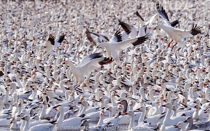 Snow geese (Chen caerulescens) large flock with some landing, Bosque del Apache, New Mexico, USA, December., Animal,Wildlife,Vertebrate,Bird,Birds,Water fowl,Waterfowl,True goose,Snow goose,American,Animalia,Animal,Wildlife,Vertebrate,Aves,Bird,Birds,Anseriformes,Water fowl,Galloanserans,Waterfowl,Anatidae,Chen,True goose,Goose,Anserini,Anserinae,Chen caerulescens,Snow goose,Anser caerulescens,Migration,Landing,Colour ,White ,Group Of Animals,Flock,Group,Large Group,North America,USA,Western USA,Southwest USA,New Mexico,Wetland,Animal Behaviour,Multitude,Bosque del Apache,American,United States of America,Animals,Vertebrates,Chordates,True geese,Geese,Groups,Wetlands,Multitudes,Masses,Colours,Colors,Animal,Wildlife,Vertebrate,Bird,Birds,Water fowl,Waterfowl,True goose,Snow goose,American,high16, Jack Dykinga