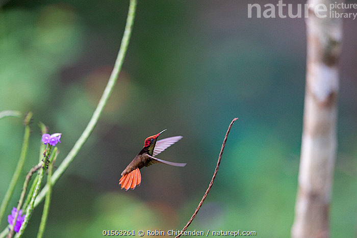 Ruby topaz hummingbird (Chrysolampis mosquitus) in flight, Trinidad and Tobago, April  ,  Animal,Vertebrate,Bird,Birds,Hummingbird,Ruby topaz,Animalia,Animal,Wildlife,Vertebrate,Aves,Bird,Birds,Apodiformes,Trochilidae,Hummingbird,Chrysolampis,Chrysolampis mosquitus,Ruby topaz,Ruby topaz hummingbird,Flying,The Caribbean,Trinidad And Tobago,Profile,Horizontal,Side View,Tropical,Biodiversity hotspots,  ,  Robin Chittenden