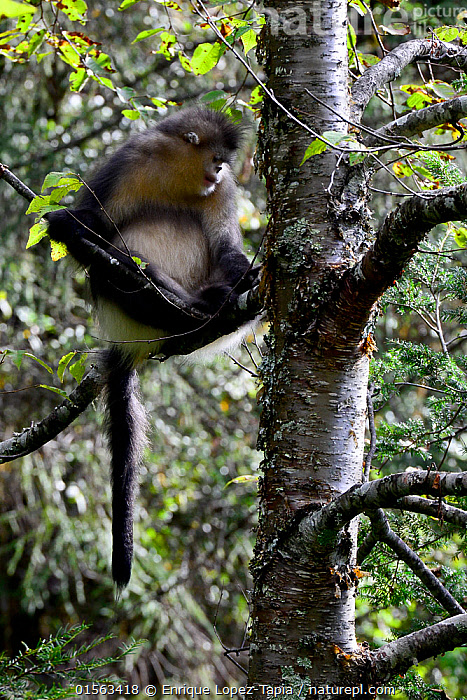 Yunnan snub-nosed monkey (Rhinopithecus bieti) in tree, Yunnan, China., Animal,Wildlife,Vertebrate,Mammal,Monkey,Snub nosed monkeys,Black Snub-nosed Monkey,Animalia,Animal,Wildlife,Vertebrate,Mammalia,Mammal,Primate,Primates,Cercopithecidae,Monkey,Old World Monkeys,Rhinopithecus,Snub nosed monkeys,Rhinopithecus bieti,Black Snub-nosed Monkey,Yunnan Snub-nosed Monkey,Asia,East Asia,China,Yunnan Province,Endangered species,threatened,Endangered, Enrique Lopez-Tapia