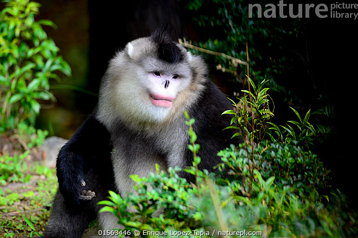 Yunnan black snub-nosed monkey (Rhinopithecus bieti) male, Yunnan, China., Animal,Wildlife,Vertebrate,Mammal,Monkey,Snub nosed monkeys,Black Snub-nosed Monkey,Animalia,Animal,Wildlife,Vertebrate,Mammalia,Mammal,Primate,Primates,Cercopithecidae,Monkey,Old World Monkeys,Rhinopithecus,Snub nosed monkeys,Rhinopithecus bieti,Black Snub-nosed Monkey,Yunnan Snub-nosed Monkey,Asia,East Asia,China,Male Animal,Yunnan Province,Endangered species,threatened,Endangered, Enrique Lopez-Tapia