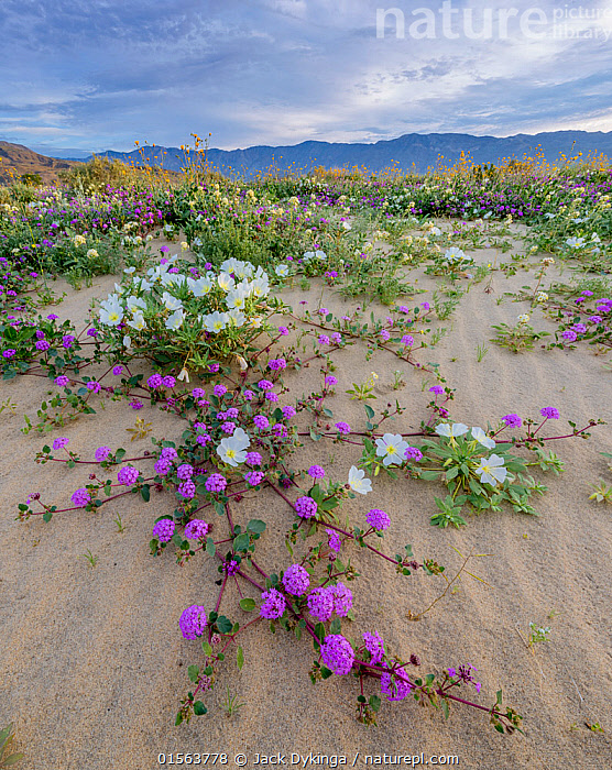 1563786 - - Desert landscape with flowering Sand verbena (Abronia), Desert gold (Geraea canescens), and Birdcage evening primrose (Oenothera deltoides), with the Santa Rosa Mountains in background. Anza-Borrego State Park, California, USA. March 2017.  These plants are flowering during on largest 'super-bloom in years' caused by increased winter rains., Plant,Vascular plant,Flowering plant,Rosid,Birdcage evening primrose,Dicot,Four o'clock,Sand verbena,Asterid,Desert sunflower,American,Plantae,Plant,Tracheophyta,Vascular plant,Magnoliopsida,Flowering plant,Angiosperm,Seed plant,Spermatophyte,Spermatophytina,Angiospermae,Myrtales,Rosid,Dicot,Dicotyledon,Rosanae,Onagraceae,Onagre,Oenothera,Oenothera deltoides,Birdcage evening primrose,Basket evening primrose,Dune primrose,Caryophyllales,Caryophyllanae,Centrospermae,Nyctaginaceae,Four o'clock,Allioniaceae,Bougainvilleaceae,Abronia,Sand verbena,Asterales,Asterid,Asteranae,Asteraceae,Compositae,Geraea,Desert sunflower,Desertsunflower,Geraea canescens,Hairy desert sunflower,Hairy desertsunflower,Desert gold,Encelia eriocephala,Simsia canescens,North America,USA,Western USA,Southwest US,California,Flower,Mountain,Desert,Landscape,Habitat,Mixed species,American,United States of America, Jack Dykinga