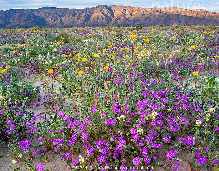 Desert landscape with flowering Sand verbena (Abronia), Desert gold (Geraea canescens), and Birdcage evening primrose (Oenothera deltoides), with the Santa Rosa Mountains in background.  Anza-Borrego State Park,  California, USA. March 2017.  These plants are flowering during on largest 'super-bloom in years' caused by increased winter rains., Plant,Vascular plant,Flowering plant,Rosid,Birdcage evening primrose,Dicot,Four o'clock,Sand verbena,Asterid,Desert sunflower,American,Plantae,Plant,Tracheophyta,Vascular plant,Magnoliopsida,Flowering plant,Angiosperm,Seed plant,Spermatophyte,Spermatophytina,Angiospermae,Myrtales,Rosid,Dicot,Dicotyledon,Rosanae,Onagraceae,Onagre,Oenothera,Oenothera deltoides,Birdcage evening primrose,Basket evening primrose,Dune primrose,Caryophyllales,Caryophyllanae,Centrospermae,Nyctaginaceae,Four o'clock,Allioniaceae,Bougainvilleaceae,Abronia,Sand verbena,Asterales,Asterid,Asteranae,Asteraceae,Compositae,Geraea,Desert sunflower,Desertsunflower,Geraea canescens,Hairy desert sunflower,Hairy desertsunflower,Desert gold,Encelia eriocephala,Simsia canescens,North America,USA,Western USA,Southwest US,California,Flower,Mountain,Desert,Landscape,Habitat,Mixed species,American,United States of America, Jack Dykinga