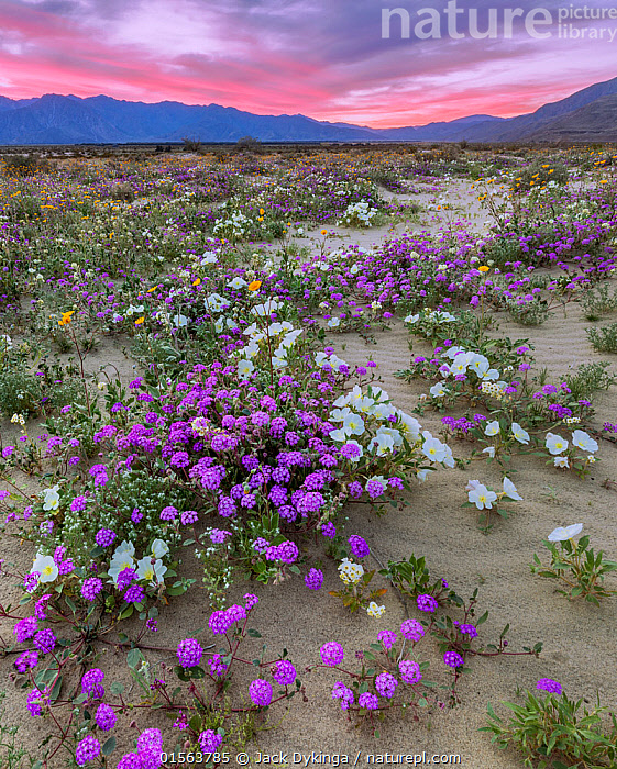 Desert landscape at sunset, with flowering Sand verbena (Abronia), Desert gold (Geraea canescens), and Birdcage evening primrose (Oenothera deltoides), with the Santa Rosa Mountains in background.  Anza-Borrego State Park,  California, USA. March 2017.  These plants are flowering during on largest 'super-bloom in years' caused by increased winter rains.  ,  Plant,Vascular plant,Flowering plant,Rosid,Birdcage evening primrose,Dicot,Four o'clock,Sand verbena,Asterid,Desert sunflower,American,Plantae,Plant,Tracheophyta,Vascular plant,Magnoliopsida,Flowering plant,Angiosperm,Seed plant,Spermatophyte,Spermatophytina,Angiospermae,Myrtales,Rosid,Dicot,Dicotyledon,Rosanae,Onagraceae,Onagre,Oenothera,Oenothera deltoides,Birdcage evening primrose,Basket evening primrose,Dune primrose,Caryophyllales,Caryophyllanae,Centrospermae,Nyctaginaceae,Four o'clock,Allioniaceae,Bougainvilleaceae,Abronia,Sand verbena,Asterales,Asterid,Asteranae,Asteraceae,Compositae,Geraea,Desert sunflower,Desertsunflower,Geraea canescens,Hairy desert sunflower,Hairy desertsunflower,Desert gold,Encelia eriocephala,Simsia canescens,North America,USA,Western USA,Southwest US,California,Flower,Desert,Sunset,Setting Sun,Sunsets,Landscape,Habitat,Mixed species,Dusk,American,United States of America  ,  Jack Dykinga