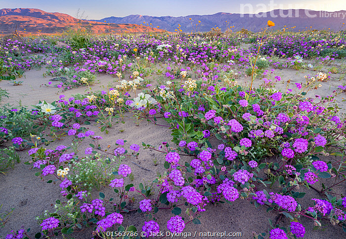 Desert landscape with flowering Sand verbena (Abronia), Desert gold (Geraea canescens), and Birdcage evening primrose (Oenothera deltoides), with the Santa Rosa Mountains in background.  Anza-Borrego State Park,  California, USA. March 2017.  These plants are flowering during on largest 'super-bloom in years' caused by increased winter rains., Plant,Vascular plant,Flowering plant,Rosid,Birdcage evening primrose,Dicot,Four o'clock,Sand verbena,Asterid,Desert sunflower,American,Plantae,Plant,Tracheophyta,Vascular plant,Magnoliopsida,Flowering plant,Angiosperm,Seed plant,Spermatophyte,Spermatophytina,Angiospermae,Myrtales,Rosid,Dicot,Dicotyledon,Rosanae,Onagraceae,Onagre,Oenothera,Oenothera deltoides,Birdcage evening primrose,Basket evening primrose,Dune primrose,Caryophyllales,Caryophyllanae,Centrospermae,Nyctaginaceae,Four o'clock,Allioniaceae,Bougainvilleaceae,Abronia,Sand verbena,Asterales,Asterid,Asteranae,Asteraceae,Compositae,Geraea,Desert sunflower,Desertsunflower,Geraea canescens,Hairy desert sunflower,Hairy desertsunflower,Desert gold,Encelia eriocephala,Simsia canescens,North America,USA,Western USA,Southwest US,California,Flower,Desert,Landscape,Habitat,Mixed species,American,United States of America, Jack Dykinga