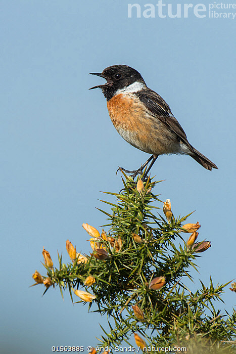 Stonechat (Saxicola torquata) male calling from top of Gorse bush, Hampshire, England, UK, May, Animal,Vertebrate,Bird,Birds,Songbird,Old world flycatcher,Chat,Stonechat,Animalia,Animal,Wildlife,Vertebrate,Aves,Bird,Birds,Passeriformes,Songbird,Passerine,Muscicapidae,Old world flycatcher,Flycatcher,Saxicola,Chat,Chat thrush,Saxicolinae,Saxicola rubicola,Stonechat,Common stonechat,Collared bush chat,Saxicola torquata,Vocalisation,Sing,Europe,Western Europe,UK,Great Britain,England,Hampshire,Animal Behaviour,Behaviour,, Andy Sands