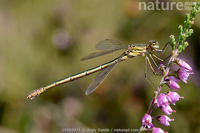 Emerald damselfly (Lestes sponsa) female perched on Ling heather, Surrey, England, UK, August  ,  Animal,Arthropod,Insect,Pterygota,Spreadwing,Emerald damselfly,Animalia,Animal,Wildlife,Hexapoda,Arthropod,Invertebrate,Hexapod,Arthropoda,Insecta,Insect,Odonata,Pterygota,Lestidae,Spreadwing,Spreadwing damselfly,Damselfly,Zygoptera,Lestes,Lestes sponsa,Emerald damselfly,Common spreadwing,Agrion sponsa,Lestes autumnalis,Lestes nymphaeides,Europe,Western Europe,UK,Great Britain,England,Surrey,Female animal,Plant,Flower,  ,  Andy Sands