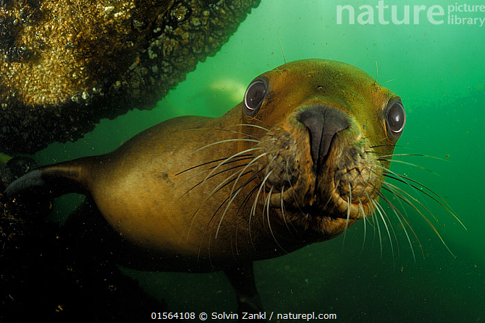 Southern sea lions (Otaria flavescens) Comau Fjord, Patagonia, Chile, Pacific Ocean, January  ,  catalogue10,,Animal,Wildlife,Vertebrate,Mammal,Carnivore,Eared seal,Sealion,South American Sea Lion,Animalia,Animal,Wildlife,Vertebrate,Mammalia,Mammal,Carnivora,Carnivore,Otaridae,Eared seal,Otary,Otarid,Pinniped,Pinnipedia,Otaris,Sealion,Otaria flavescens,South American Sea Lion,Southern Sea Lion,Otaria aurita,Otaria byronia,Otaria molossina,Curiosity,Latin America,South America,Chile,Patagonia,Horizontal,Close Up,Portrait,Ocean,Pacific Ocean,Marine,Coastal waters,Underwater,Water,Animal Behaviour,Playing,Cold Water,Behaviour,Saltwater,Play,Playful,Coldwater,Whiskers,Direct Gaze,Behavioural,Marine  ,  Solvin Zankl