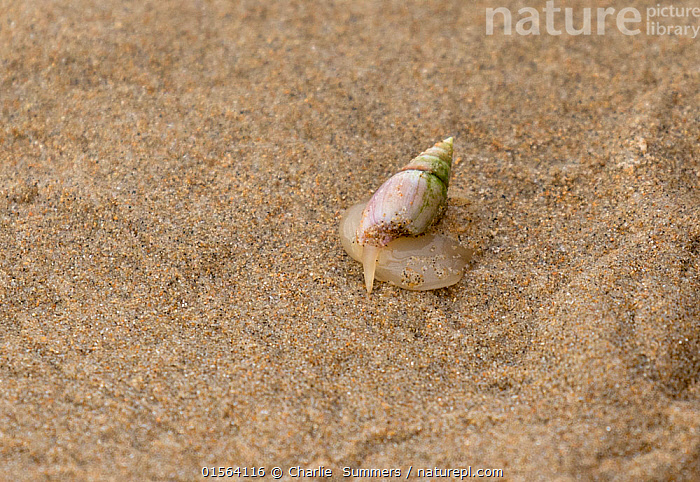 Plough snail (Bullia digitalis) with its finger out (also known as a Finger Plough snail) Bufflesbaai, South Africa, Indian Ocean.  ,  Africa,Southern Africa,South Africa,Horizontal,Beach,Sands,Ocean,Indian Ocean,Coast,Marine,Coastal,Water,Saltwater,South African,  ,  Charlie  Summers