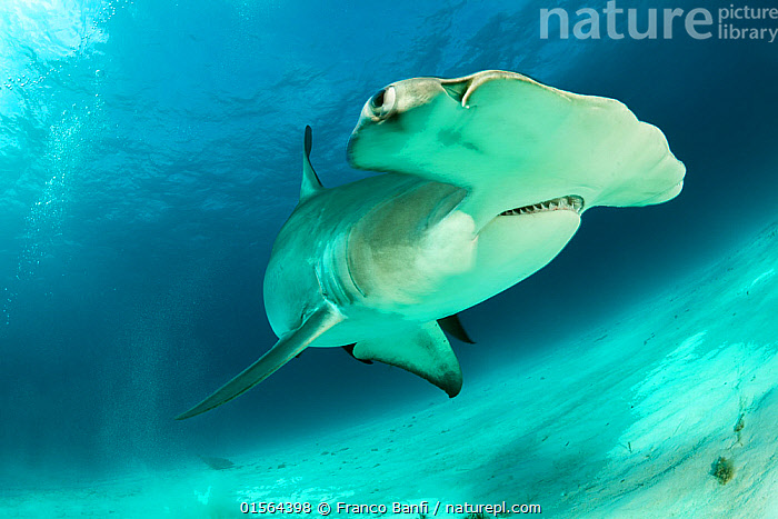 Great hammerhead shark (Sphyrna mokarran) swimming over sandy seabed, South Bimini, Bahamas. The Bahamas National Shark Sanctuary, West Atlantic Ocean., catalogue10,,Animal,Wildlife,Vertebrate,Cartilaginous fish,Ground shark,Hammerhead sharks,Great Hammerhead,Animalia,Animal,Wildlife,Vertebrate,Chondrichthyes,Cartilaginous fish,Jawed fish,Carcharhiniformes,Ground shark,Sphyrnidae,Hammerhead sharks,Hammerheads,Sphyrna,Sphyrna mokarran,Great Hammerhead,Hammerhead Shark,Squat-headed Hammerhead Shark,Zygaena dissimilis,Zygaena mokarran,Sphyrna ligo,Bizarre,Weird,The Caribbean,Caribbean,West Indies,Portrait,Seabed,Marine,Underwater,Water,Saltwater,Biodiversity hotspots,Protected area,Shark,Sanctuary,Endangered species,threatened,Endangered,Marine, Franco  Banfi