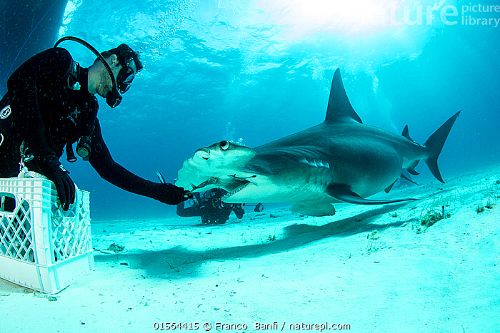 Great hammerhead shark (Sphyrna mokarran) being hand-fed by a scuba diver on the seabed, South Bimini, Bahamas. The Bahamas National Shark Sanctuary, West Atlantic Ocean., South Bimini, Bahamas. The Bahamas National Shark Sanctuary, West Atlantic Ocean., Animal,Wildlife,Vertebrate,Cartilaginous fish,Ground shark,Hammerhead sharks,Great Hammerhead,Animalia,Animal,Wildlife,Vertebrate,Chondrichthyes,Cartilaginous fish,Jawed fish,Carcharhiniformes,Ground shark,Sphyrnidae,Hammerhead sharks,Hammerheads,Sphyrna,Sphyrna mokarran,Great Hammerhead,Hammerhead Shark,Squat-headed Hammerhead Shark,Zygaena dissimilis,Zygaena mokarran,Sphyrna ligo,Diving,Underwater Diving,Scuba Diving,People,The Caribbean,Seabed,Marine,Underwater,Water,Feeding,Saltwater,Biodiversity hotspots,Protected area,Shark,Sanctuary,Diver,Hand feeding,Hand fed,Hand reared,Endangered species,threatened,Endangered,Marine, Franco  Banfi