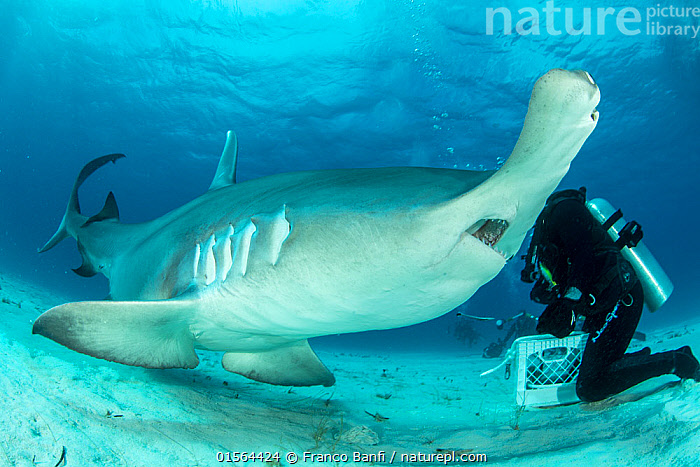 Close up of a Great hammerhead shark (Sphyrna mokarran) being hand-fed by a scuba diver on the seabed, South Bimini, Bahamas. The Bahamas National Shark Sanctuary, West Atlantic Ocean. Model released., catalogue10,,Animal,Wildlife,Vertebrate,Cartilaginous fish,Ground shark,Hammerhead sharks,Great Hammerhead,Animalia,Animal,Wildlife,Vertebrate,Chondrichthyes,Cartilaginous fish,Jawed fish,Carcharhiniformes,Ground shark,Sphyrnidae,Hammerhead sharks,Hammerheads,Sphyrna,Sphyrna mokarran,Great Hammerhead,Hammerhead Shark,Squat-headed Hammerhead Shark,Zygaena dissimilis,Zygaena mokarran,Sphyrna ligo,Diving,Underwater Diving,Scuba Diving,People,The Caribbean,Close Up,Seabed,Marine,Underwater,Water,Feeding,Saltwater,Biodiversity hotspots,Protected area,Shark,Sanctuary,Diver,Hand feeding,Hand fed,Hand reared,Endangered species,threatened,Endangered,Marine, Franco  Banfi