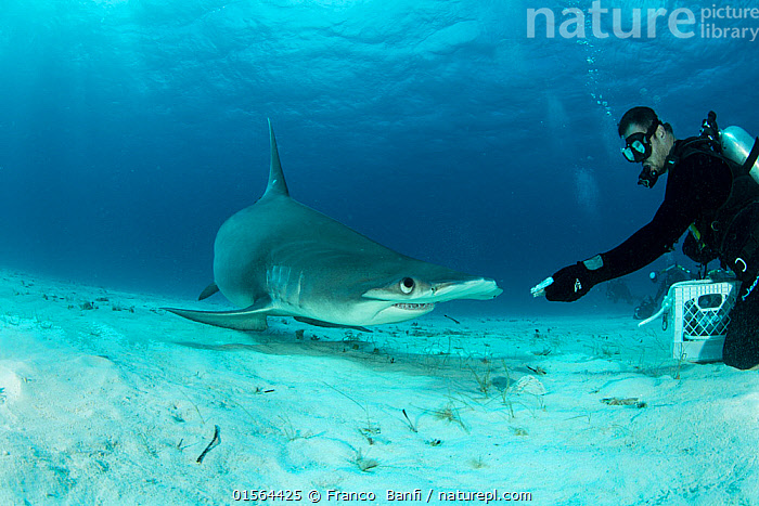 Great hammerhead shark (Sphyrna mokarran) being hand-fed by a scuba diver on the seabed, South Bimini, Bahamas. The Bahamas National Shark Sanctuary, West Atlantic Ocean., Animal,Wildlife,Vertebrate,Cartilaginous fish,Ground shark,Hammerhead sharks,Great Hammerhead,Animalia,Animal,Wildlife,Vertebrate,Chondrichthyes,Cartilaginous fish,Jawed fish,Carcharhiniformes,Ground shark,Sphyrnidae,Hammerhead sharks,Hammerheads,Sphyrna,Sphyrna mokarran,Great Hammerhead,Hammerhead Shark,Squat-headed Hammerhead Shark,Zygaena dissimilis,Zygaena mokarran,Sphyrna ligo,Diving,Underwater Diving,Scuba Diving,People,The Caribbean,Seabed,Marine,Underwater,Water,Feeding,Saltwater,Biodiversity hotspots,Protected area,Shark,Sanctuary,Diver,Hand feeding,Hand fed,Hand reared,Endangered species,threatened,Endangered,Marine, Franco  Banfi