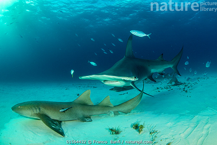 Great hammerhead shark (Sphyrna mokarran) swimming over sandy seabed with resting Nurse sharks (Ginglymostoma cirratum), Bar jacks (Caranx ruber) and Remora fish, South Bimini, Bahamas. The Bahamas National Shark Sanctuary, West Atlantic Ocean., Animal,Wildlife,Vertebrate,Cartilaginous fish,Carpet shark,Nurse sharks,Nurse shark,Ground shark,Hammerhead sharks,Great Hammerhead,Ray-finned fish,Percomorphi,Jack,Bar jack,Remora,Animalia,Animal,Wildlife,Vertebrate,Chondrichthyes,Cartilaginous fish,Jawed fish,Orectolobiformes,Carpet shark,Ginglymostomatidae,Nurse sharks,Ginglymostoma,Ginglymostoma cirratum,Nurse shark,Ginglymostoma caboverdianus,Ginglymostoma fulvum,Squalus argus,Carcharhiniformes,Ground shark,Sphyrnidae,Hammerhead sharks,Hammerheads,Sphyrna,Sphyrna mokarran,Great Hammerhead,Hammerhead Shark,Squat-headed Hammerhead Shark,Zygaena dissimilis,Zygaena mokarran,Sphyrna ligo,Actinopterygii,Ray-finned fish,Osteichthyes,Bony fish,Fish,Perciformes,Percomorphi,Acanthopteri,Carangidae,Jack,Jack fishes,Carangoides,Carangoides ruber,Bar jack,Carbonero,Red jack,Blue- striped cavalla,Passing jack,Caranx ruber,Scomber ruber,Echeneididae,Remora,Suckerfish,Sucker fish,Resting,Rest,The Caribbean,Seabed,Marine,Underwater,Water,Mixed species,Saltwater,Biodiversity hotspots,Protected area,Shark,Sanctuary,Sharksucker,shark sucker,Marine,Endangered species,threatened,Endangered, Franco  Banfi
