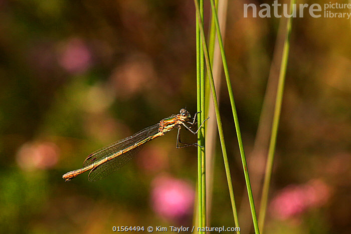 Emerald damselfly (Lestes sponsa) on Common rush (Juncus species). Surrey, England, UK, September.  ,  Animal,Wildlife,Arthropod,Insect,Pterygota,Spreadwing,Emerald damselfly,Animalia,Animal,Wildlife,Hexapoda,Arthropod,Invertebrate,Hexapod,Arthropoda,Insecta,Insect,Odonata,Pterygota,Lestidae,Spreadwing,Spreadwing damselfly,Damselfly,Zygoptera,Lestes,Lestes sponsa,Emerald damselfly,Common spreadwing,Agrion sponsa,Lestes autumnalis,Lestes nymphaeides,Europe,Western Europe,UK,Great Britain,England,Surrey,Profile,Side View,  ,  Kim Taylor
