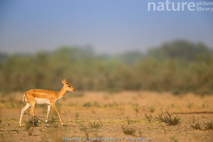 Blackbuck (Antelope cervicapra),  calf walking, Tal Chhapar Wildlife Sanctuary, Rajasthan, India  ,  Animal,Vertebrate,Mammal,Bovid,Antelope,Blackbuck,Animalia,Animal,Wildlife,Vertebrate,Mammalia,Mammal,Artiodactyla,Even-toed ungulates,Bovidae,Bovid,ruminantia,Ruminant,Antilope,Antelope,Antilope cervicapra,Blackbucks,Asia,Indian Subcontinent,India,Young Animal,Juvenile,Babies,Baby Mammal,Calf,Grassland,Savanna,Protected area,Rajasthan,Sanctuary,Wildlife Sanctuary,Blackbuck,  ,  Yashpal Rathore
