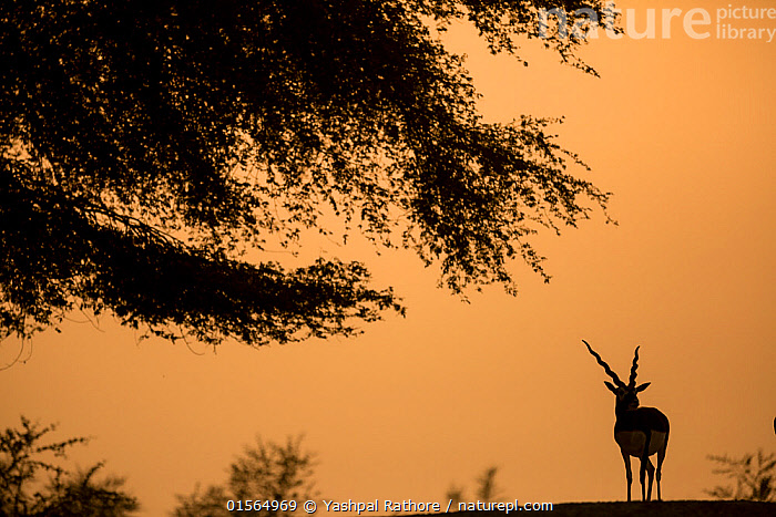 Blackbuck (Antelope cervicapra), male standing under tree, silhouetted. Tal Chhapar Wildlife Sanctuary, Rajasthan, India  ,  Animal,Vertebrate,Mammal,Bovid,Antelope,Blackbuck,Animalia,Animal,Wildlife,Vertebrate,Mammalia,Mammal,Artiodactyla,Even-toed ungulates,Bovidae,Bovid,ruminantia,Ruminant,Antilope,Antelope,Antilope cervicapra,Blackbucks,Asia,Indian Subcontinent,India,Back Lit,Male Animal,Sunset,Setting Sun,Sunsets,Grassland,Savanna,Silhouette,Protected area,Dusk,Rajasthan,Sanctuary,Wildlife Sanctuary,Blackbuck,  ,  Yashpal Rathore