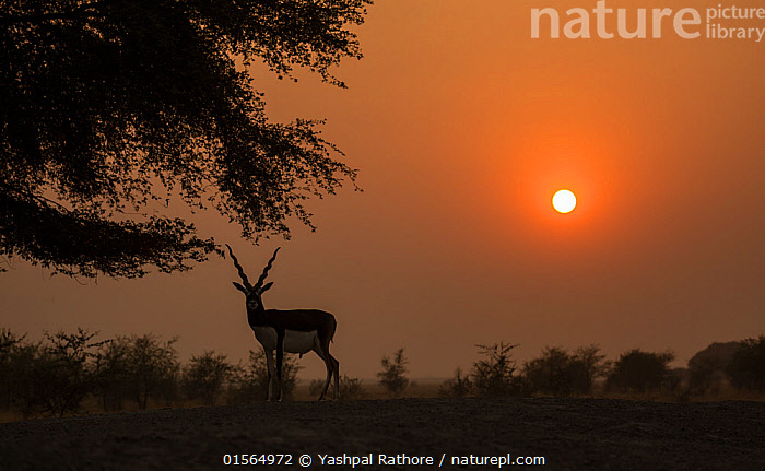 Blackbuck (Antelope cervicapra), male silhouetted at sunset, Tal Chhapar Wildlife Sanctuary, Rajasthan, India  ,  Animal,Vertebrate,Mammal,Bovid,Antelope,Blackbuck,Animalia,Animal,Wildlife,Vertebrate,Mammalia,Mammal,Artiodactyla,Even-toed ungulates,Bovidae,Bovid,ruminantia,Ruminant,Antilope,Antelope,Antilope cervicapra,Blackbucks,Asia,Indian Subcontinent,India,Back Lit,Male Animal,Sunset,Setting Sun,Sunsets,Grassland,Savanna,Silhouette,Protected area,Dusk,Rajasthan,Sanctuary,Wildlife Sanctuary,Blackbuck,  ,  Yashpal Rathore