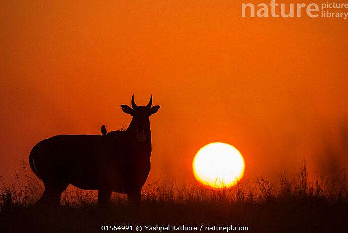Nilgai or Blue bull (Boselaphus tragocamelus), silhouette of male at sunset, with  Black drongo bird on its back. Velavadar National Park, Gujarat, India  ,  Animal,Vertebrate,Mammal,Bovid,Nilgai,Animalia,Animal,Wildlife,Vertebrate,Mammalia,Mammal,Artiodactyla,Even-toed ungulates,Bovidae,Bovid,ruminantia,Ruminant,Boselaphus,Boselaphus tragocamelus,Nilgai,Asia,Indian Subcontinent,India,Back Lit,Male Animal,Sunset,Setting Sun,Sunsets,Grassland,Savanna,Silhouette,Protected area,Dusk,Rajasthan,Sanctuary,Wildlife Sanctuary,  ,  Yashpal Rathore