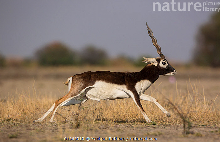 Blackbuck (Antelope cervicapra) male running, Tal Chhapar Wildlife Sanctuary, Rajasthan, India  ,  Animal,Vertebrate,Mammal,Bovid,Antelope,Blackbuck,Animalia,Animal,Wildlife,Vertebrate,Mammalia,Mammal,Artiodactyla,Even-toed ungulates,Bovidae,Bovid,ruminantia,Ruminant,Antilope,Antelope,Antilope cervicapra,Blackbucks,Running,Asia,Indian Subcontinent,India,Male Animal,Grassland,Savanna,Protected area,Rajasthan,Sanctuary,Wildlife Sanctuary,Blackbuck,  ,  Yashpal Rathore