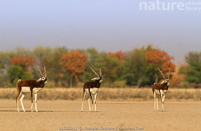 Blackbuck (Antelope cervicapra) males walking parallel during rut, Tal Chhapar Wildlife Sanctuary, Rajasthan, India  ,  Animal,Vertebrate,Mammal,Bovid,Antelope,Blackbuck,Animalia,Animal,Wildlife,Vertebrate,Mammalia,Mammal,Artiodactyla,Even-toed ungulates,Bovidae,Bovid,ruminantia,Ruminant,Antilope,Antelope,Antilope cervicapra,Blackbucks,Few,Three,Group,Asia,Indian Subcontinent,India,Grassland,Savanna,Protected area,Rajasthan,Sanctuary,Wildlife Sanctuary,Blackbuck,  ,  Yashpal Rathore