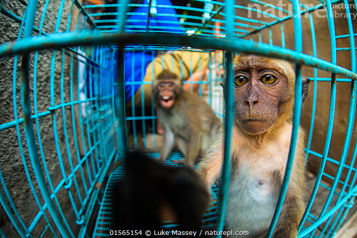 Two young long tailed macaques (Macaca fascicularis) sit inside a cage for sale at Pasty Market, Yogjakarta, Indonesia, Animal,Wildlife,Vertebrate,Mammal,Monkey,Macaque,Crab-eating Macaque,Animalia,Animal,Wildlife,Vertebrate,Mammalia,Mammal,Primate,Primates,Cercopithecidae,Monkey,Old World Monkeys,Macaca,Macaque,Papionini,Macaca fascicularis,Crab-eating Macaque,Cynomolgus Monkey,Long-tailed Macaque,Sadness,Asia,South East Asia,Indonesia,Bali Island,Cage,Cages,Market,Captivity,Biodiversity hotspot,Wildlife trade,Conservation issues,Animal trade,, Luke Massey