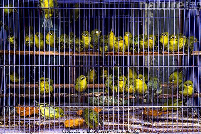 White-eyes (Zosterops sp.) wait in a cage at Denpasar Bird Market, Bali., Animal,Wildlife,Vertebrate,Bird,Birds,Songbird,Whiteeye,Typical whiteeye,Animalia,Animal,Wildlife,Vertebrate,Aves,Bird,Birds,Passeriformes,Songbird,Passerine,Zosteropidae,Whiteeye,White eye,Zosterops,Typical whiteeye,Typical white eye,Asia,South East Asia,Indonesia,Bali Island,Cage,Cages,Market,Captivity,Biodiversity hotspot,Wildlife trade,Conservation issues,Animal trade,, Luke Massey